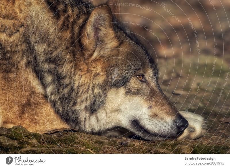 A lying wolf on the ground relaxing Nature Animal Wild animal Zoo 1 Contentment Power Willpower Determination beautiful brown dog energy European face gray