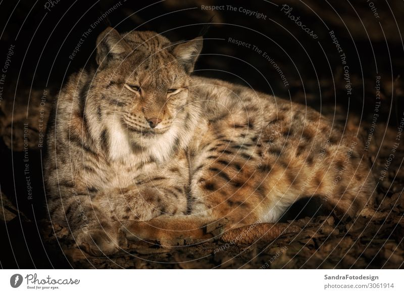 Lying lynx in the sun and relaxing Nature Autumn Park Animal Wild animal Zoo 1 Contentment Love of animals 300mm animal photography beautiful beautiful animal