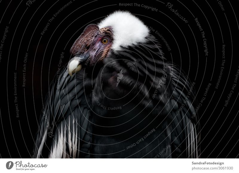 Anden Condor with a black background Zoo Nature Animal 1 Self-confident Power alone beak beauty bird body exotic face freedom head hunter large natural plumage