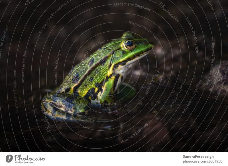 A green frog sitting in the moor and waiting Bog Marsh Lake Animal Wild animal Frog Jump isolated wet adventure natural small forest biology colorful organism