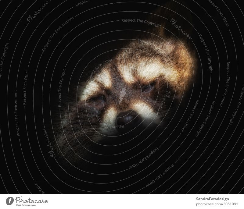 Head of a raccoer against black background Zoo Nature Animal Wild animal 1 Love of animals adorable attractive Background picture charming cuddly curiosity