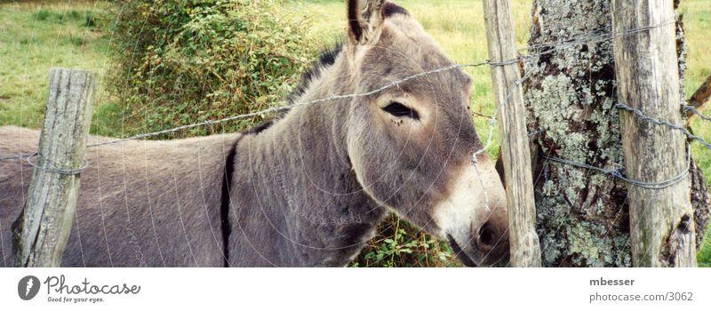 ass Animal Captured Donkey