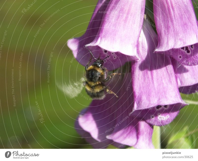 Bee Flower Hunt Insect Blossom Aviation Hönig collect