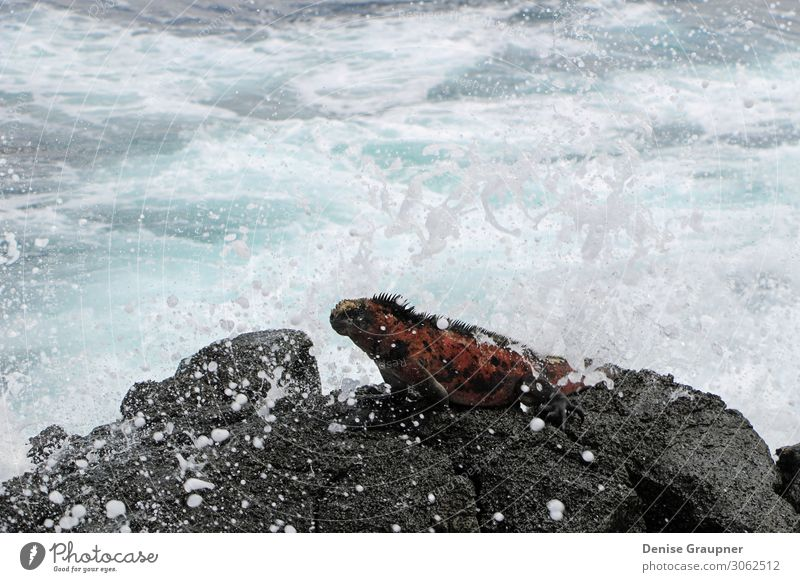 Sea lizard in the Galapagos Islands Vacation & Travel Beach Ocean Waves Environment Nature Animal Water Climate Beautiful weather Virgin forest Wild animal 1