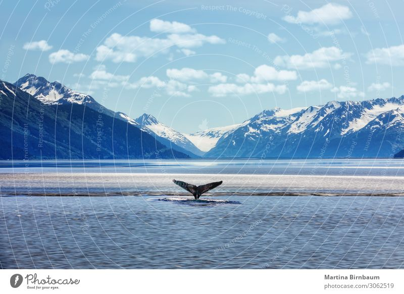 Humpback whale tail with icy mountains backdrop Alaska Sky Vacation & Travel Nature Summer Blue Beautiful Landscape Ocean Winter Mountain Park Vantage point