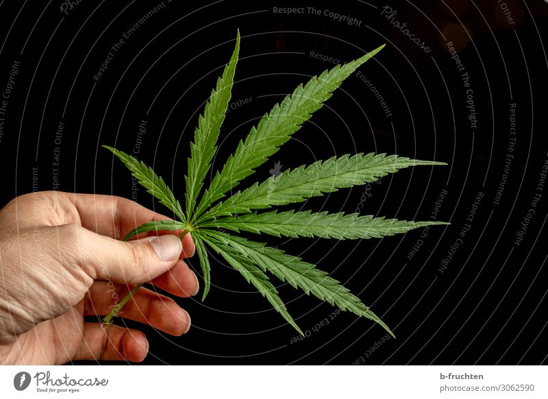 hemp leaf Man Adults Hand Fingers Plant Hemp Leaf Observe Touch To hold on Free Fresh Beautiful Green Dangerous Drug addiction Cannabis leaf Intoxicant