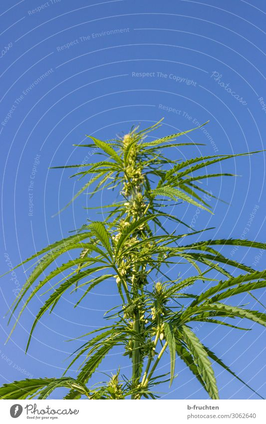 cannabis Alternative medicine Plant Hemp Leaf Agricultural crop Growth Free Fresh Blue Green Cannabis leaf Intoxicant Sky Sky blue Medication Bans Colour photo