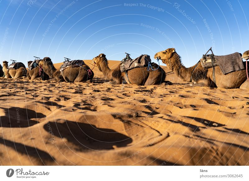 Desert ships l Dromedaries Vacation & Travel Tourism Trip Sand Sky Cloudless sky Beautiful weather Sahara Caravan Animal Dromedary Camel Group of animals Wait