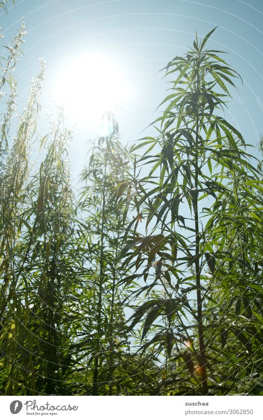 hemp against the light Hemp Plant Nature Garden Horticulture extension Breed Cannabis thc Illegal Alternative medicine Intoxicant Intoxication Sky Leaf Summer