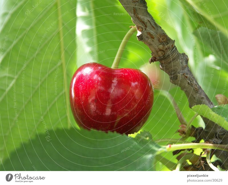 Tree Cherry tree