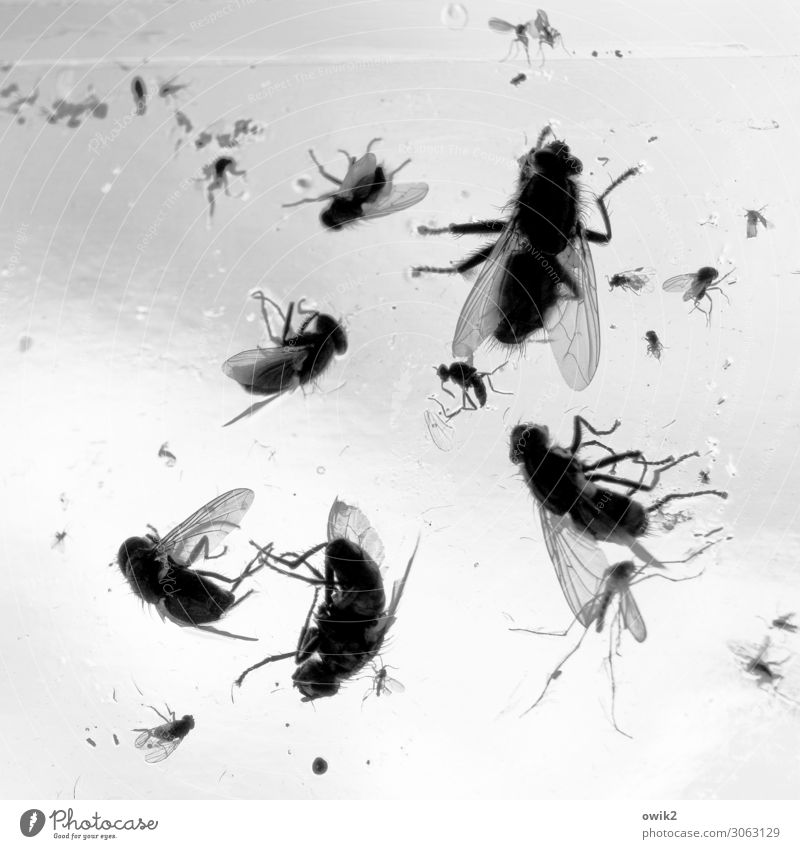 cemetery of cuddly toys Window Fly Flytrap Insect destroyer Glass To dry up Disgust Many Bizarre Death Decline Transience Lose Stick Black & white photo
