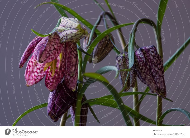 Chessboard flowers against a grey background Decoration Spring Plant Flower Blossom Snake's head fritillary fritillaria Lily plants Blossoming Hang Elegant Gray