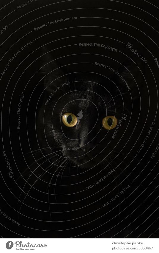 out of the dark 1 Human being Animal Pet Cat Animal face Observe Curiosity Black Domestic cat Cat eyes Cat's head Colour photo Deserted Copy Space left
