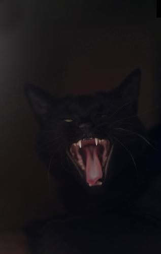 Black cat yawns in front of dark background Pet Cat Animal face 1 conceit Fatigue Yawn Show your teeth Teeth Tongue Cat's tongue Colour photo Subdued colour