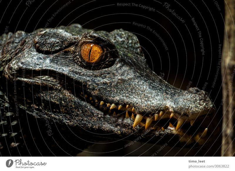 The Gator Animal Animal face Scales Zoo 1 Observe Hunting Looking Aggression Esthetic Threat Dark Exotic Creepy Maritime Beautiful Wild Gray Green Orange Power