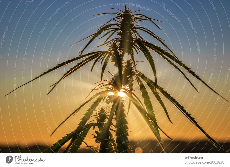 Hemp plant in twilight Plant Leaf Observe Elegant Free Society Politics and state Cannabis Intoxicant Dusk Dawn hemp plant Medication Agricultural crop Economy