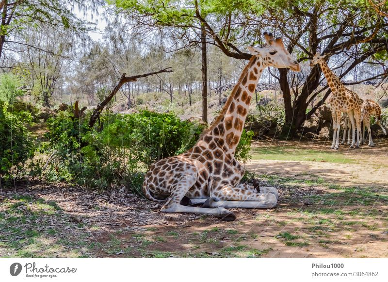 Giraffe sitting in Haller Park near Mombasa Beautiful Safari Financial institution Baby Mother Adults Environment Nature Animal Earth Coast Bird Kissing Dirty