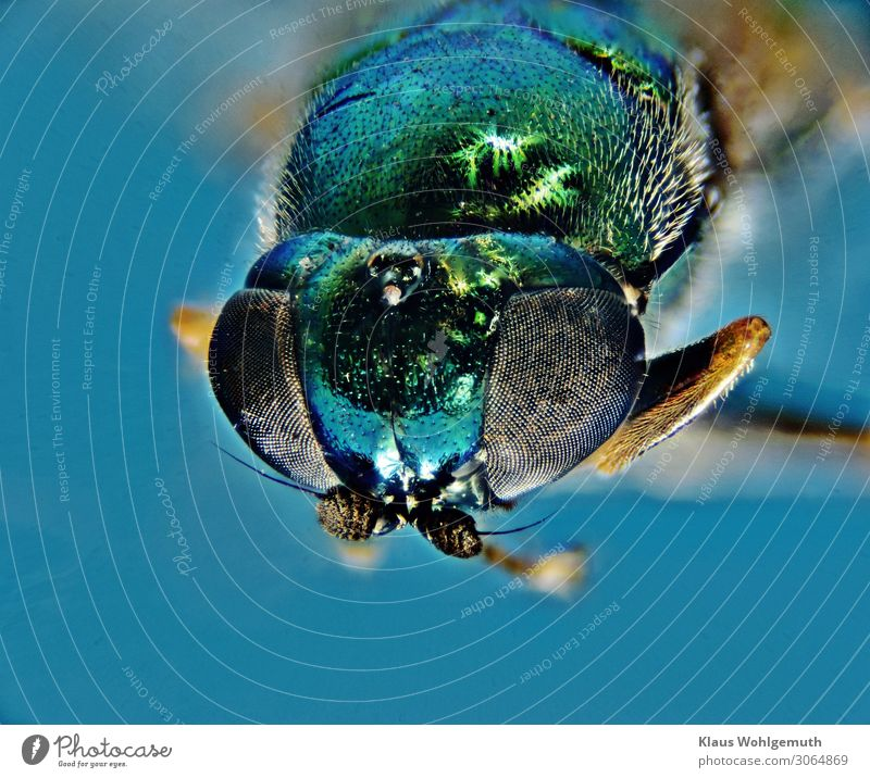 Cool colours Environment Nature Animal Summer Fly Animal face 1 Observe Looking Sit Blue Green Feeler Chitin Pelt Hair Compound eye Head Colour photo Close-up