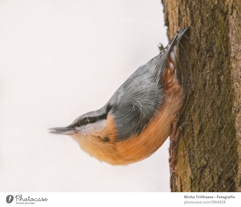 Nuthatch on a tree trunk Nature Animal Sun Sunlight Beautiful weather Tree Tree trunk Wild animal Bird Animal face Wing Claw Eurasian nuthatch Head Beak Eyes