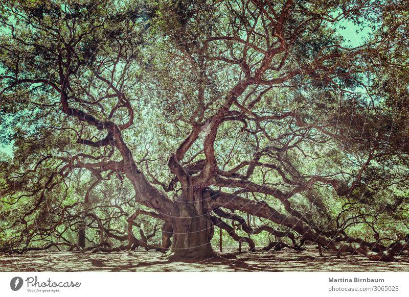 Angel Oak Tree on John's Island, South Carolina. Sky Vacation & Travel Nature Old Summer Beautiful Green White Landscape Forest Black Yellow Natural Coast Park