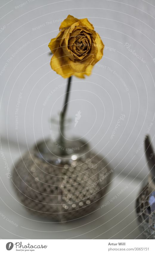 I wither Plant Summer Flower Rose Blossom Wild plant Emotions Grateful Grief Death Environment Transience yellow rose Colour photo Interior shot