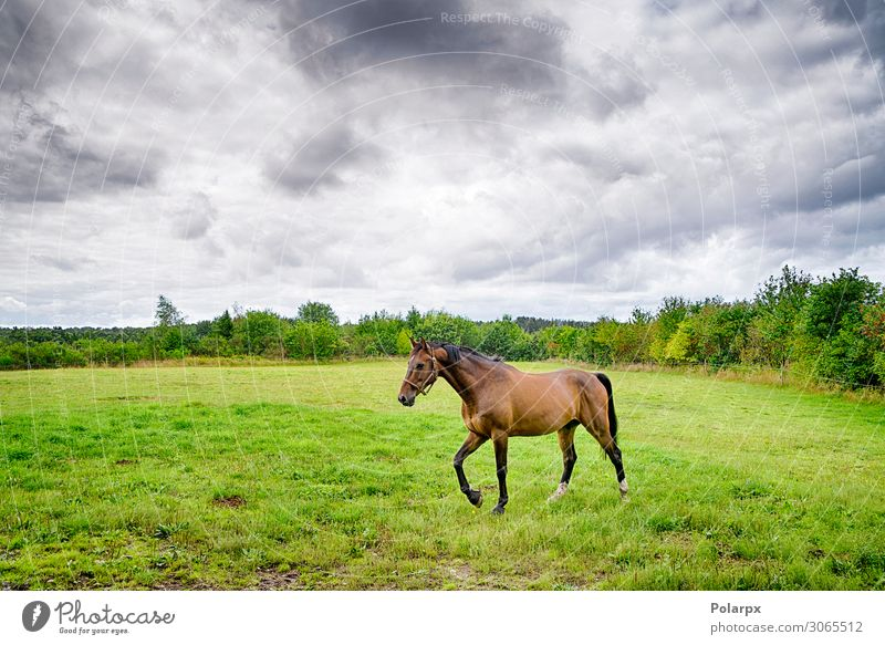 Brown horse walking on a green field in cloudy weather Beautiful Summer Industry Nature Landscape Animal Sky Clouds Weather Storm Rain Grass Meadow Horse