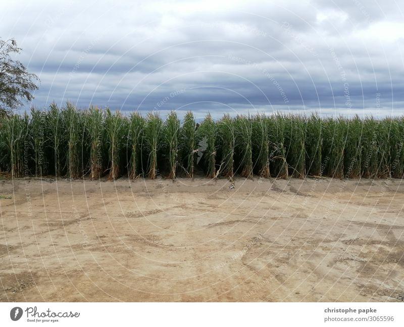 Sky Nature Plant Landscape Clouds Field Agriculture Agricultural crop Maize Maize field