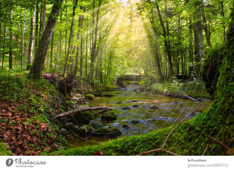 forest idyll Adventure Freedom Summer Tree Forest Brook Relaxation Healthy Beautiful Green Longing Bridge Wilderness Mysterious Deciduous forest Calm Nature