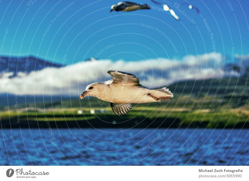 perfect shot of a flying seagull over blue ocean on iceland Beautiful Freedom Ocean Art Nature Landscape Animal Sky Clouds Weather Places Bird Wing Flying Clean