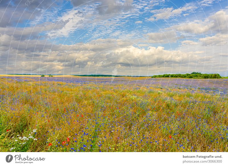 colourful organic rape field with cornflowers and poppy seeds Renewable energy Environment Nature Landscape Plant Sky Clouds Horizon Summer Autumn