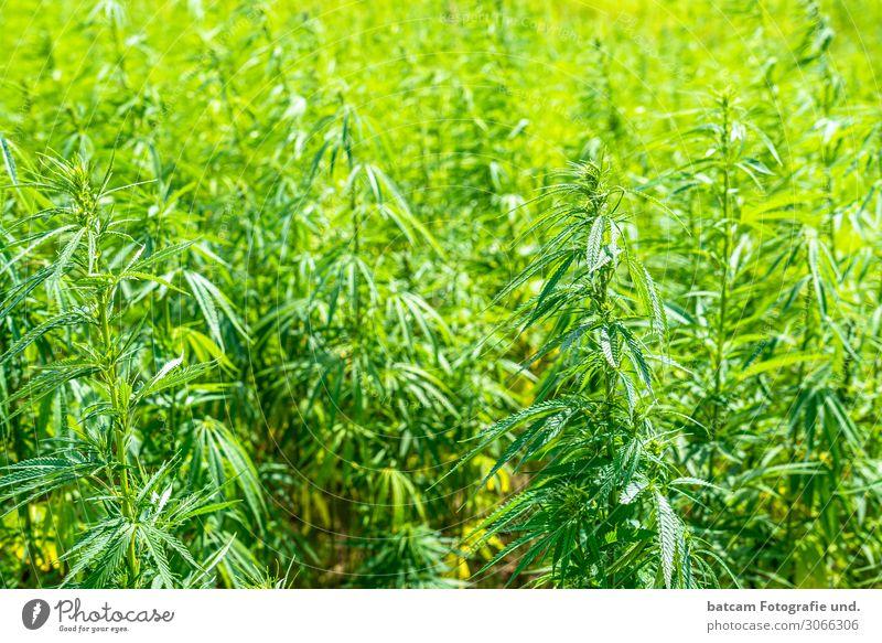 Hemp Field Cannabis Field Environment Sun Beautiful weather Yellow Green Addiction Cannabis leaf Intoxicant Drug addiction Bans Colour photo Exterior shot