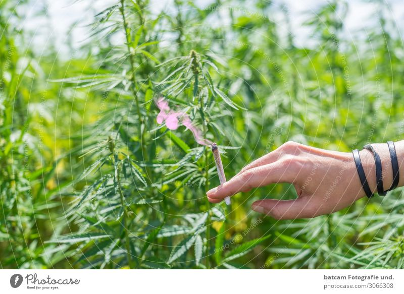 Hand with joint in front of a hemp field cannabis field Environment Plant Sunlight Summer Beautiful weather Hemp Field Brown Yellow Green White Addiction Bans