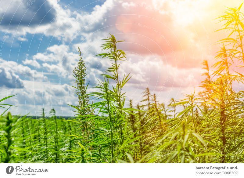 Hemp Field Cannabis Field Backlit Environment Nature Landscape Sky Clouds Sun Sunlight Summer Beautiful weather Blue Yellow Gray Green Orange White