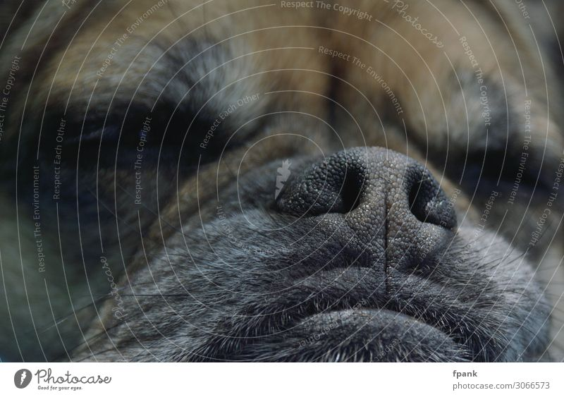 snoring nose Pet Dog Animal face Pug Crossbreed 1 Sleep Indifferent Nose Snout Pelt Hair dog's nose Colour photo Exterior shot Close-up Day Shadow Blur