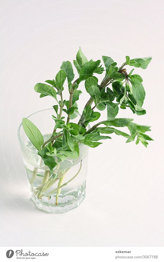 marjoram Food Herbs and spices Marjoram Medicinal plant Italian Food Glass Delicious Green Still Life Vegan diet Colour photo Interior shot Deserted