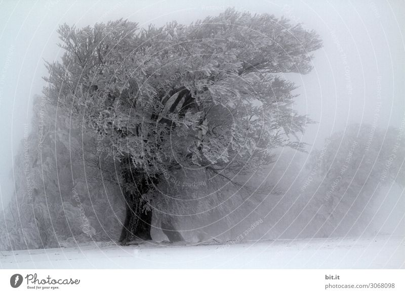Nebulous l User meeting Howden l Praise trees Nature Plant Winter Climate Weather Wind Gale Fog Ice Frost Snow Snowfall Tree Cold Black & white photo