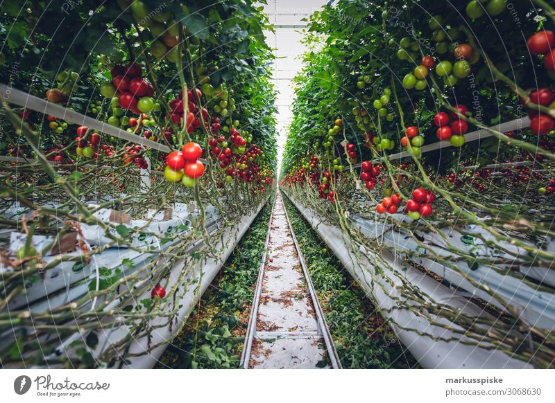 Mega Glasshouse for Tomatoes and Pepper Food Vegetable Tomato plantation Greenhouse Breed Nutrition Eating Organic produce Vegetarian diet Diet Fasting Healthy