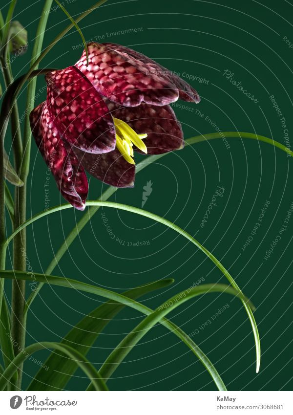 checkerboard flower Plant Flower Blossom Snake's head fritillary Natural Green Red White Esthetic Uniqueness Exotic Lily Workshop Purple Individual Horizontal