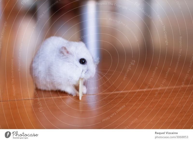 Hamster eating Cheese Eating Animal Mouse 1 Feeding Brown White Colour photo Interior shot Copy Space right Day Shallow depth of field