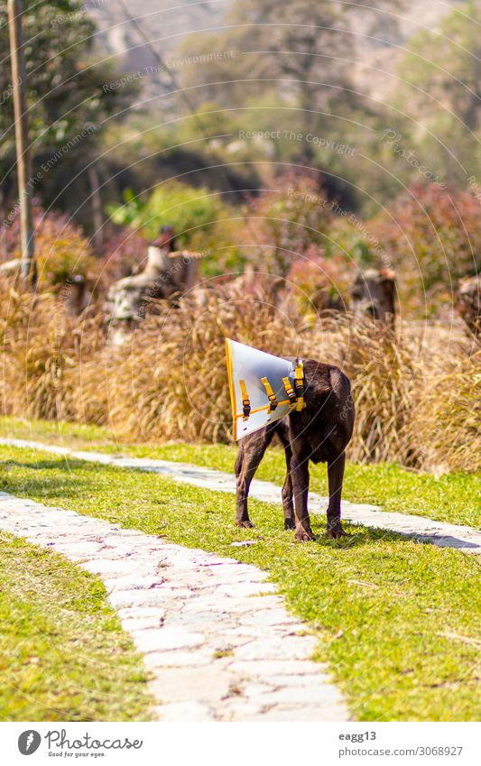 Labrador retriever brown color with Elizabethan collar Happy Face Friendship Nature Landscape Animal Autumn Grass Garden Forest Pet Dog 1 Sit Funny Cute Brown