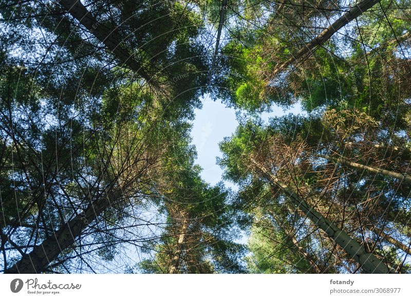 View to the tree tops of the coastal fir Environment Nature Landscape Plant Sky Spring Tree Forest Deserted Wood Tall Above Green Environmental protection