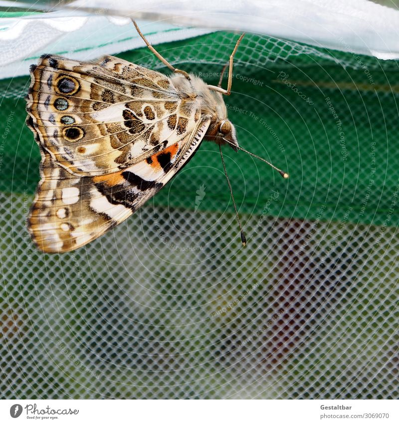 Beautiful Animal Transience Wing Change Threat Insect Butterfly Feeler Breed Endangered species Painted lady