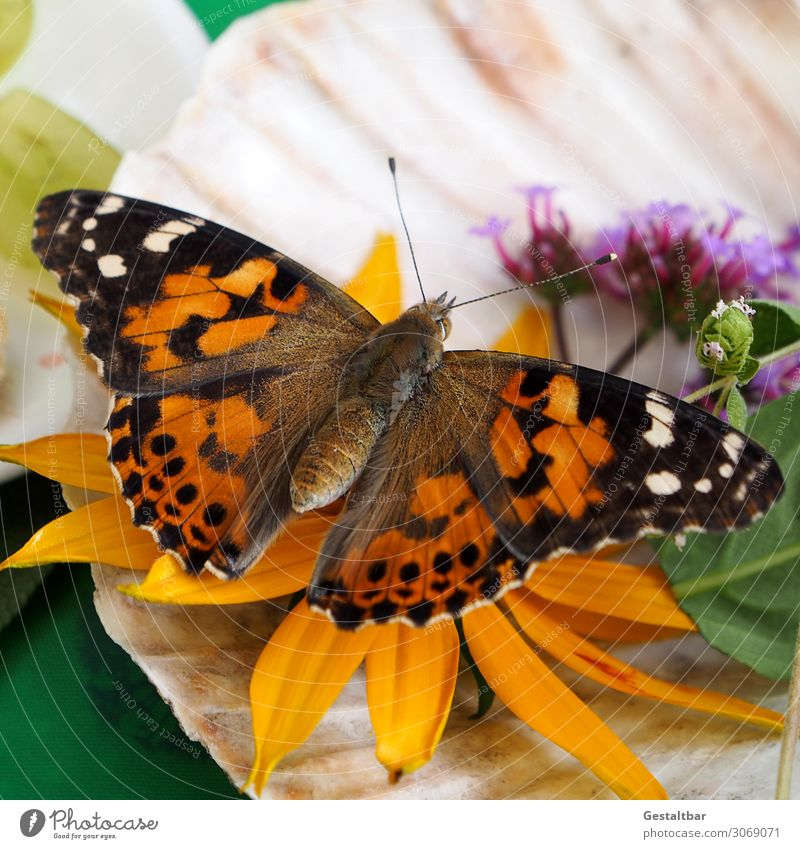 Thistle butterfly on flower Animal Butterfly 1 Esthetic Beautiful Brown Orange Black White Threat Change Painted lady Insect Endangered species Wing