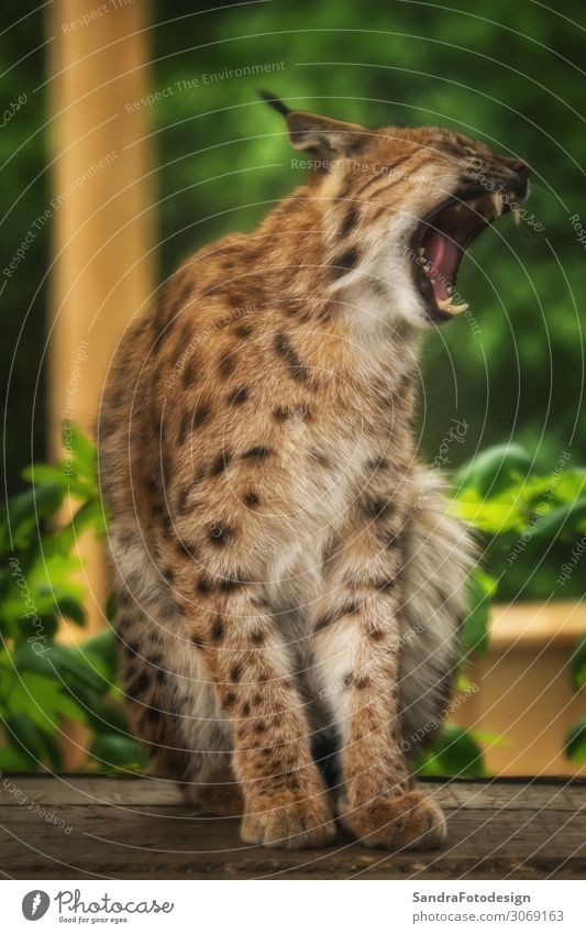 Yawning lynx sitting on a wooden board Zoo Nature Animal Wild animal Athletic Strong beautiful beauty big cat bobcat Carnivore European hunter looking majestic
