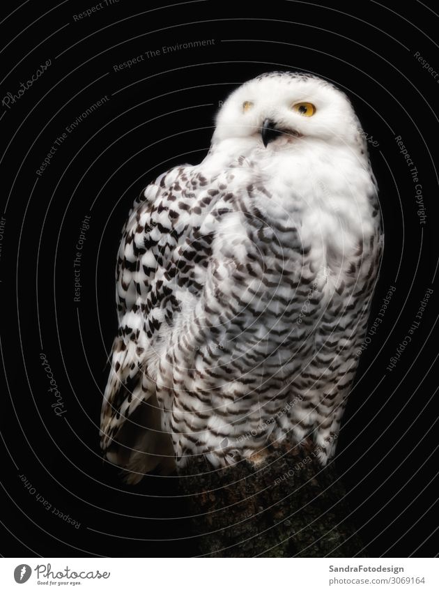 A snow owl against black background Winter Zoo Nature Animal Beautiful Living thing Background picture beak beauty bird cold eyes feathers fly freedom hunter