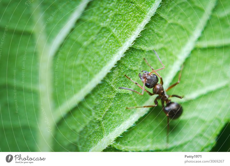 ant Plant Leaf Animal Wild animal Ant Insect 1 Crawl Green Nature Environment Colour photo Exterior shot Close-up Detail Macro (Extreme close-up) Deserted