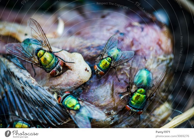 blowflies Dead animal Bird Fly Wing Blowfly Greenbottle fly Lucilia sericata To feed Crawl Disgust Glittering Yellow Voracious Nature Death Decline Transience