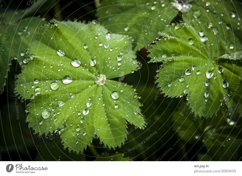 repelling Nature Plant Leaf Alchemilla vulgaris Exceptional Green Innovative Hydrophobic Dismissive Pearl Drop Drops of water Rain Science & Research