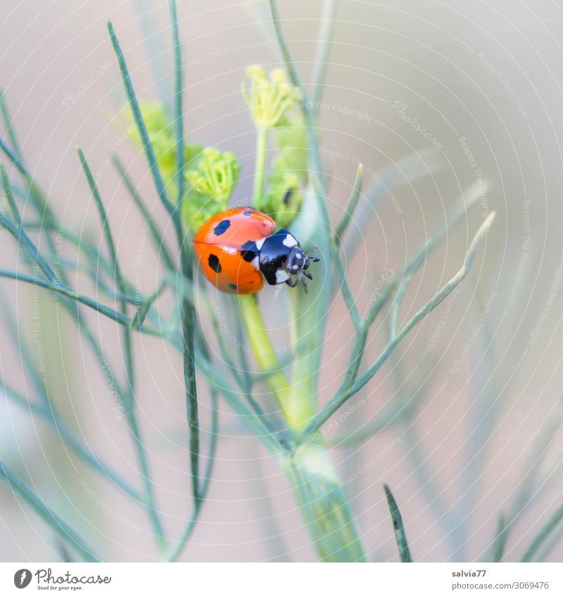 seven point Environment Nature Summer Plant Leaf Foliage plant Agricultural crop Dill Garden Animal Beetle Insect Ladybird Seven-spot ladybird 1 Crawl Small
