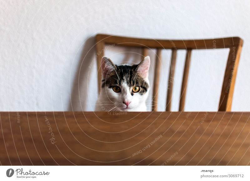 Kalle is hungry Animal Pet Cat 1 Table Backrest Sit Wait Funny Living or residing Colour photo Interior shot Copy Space left Copy Space bottom Isolated Image